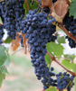 http://sitara.zz.mu/1/2/images/Grapes.jpg